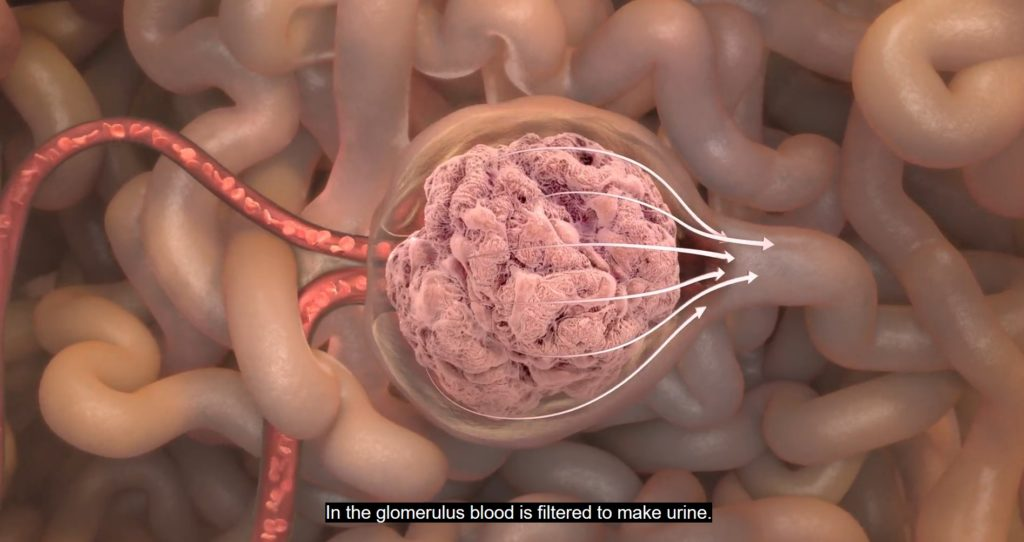 in the glomerulus blood is filtered to make urine